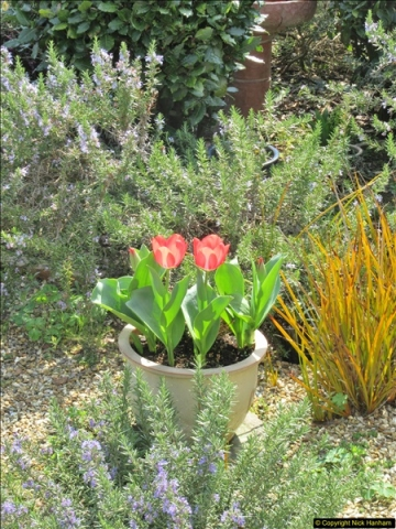 2018-04-14 A Poole Garden in Spring.  (5)005