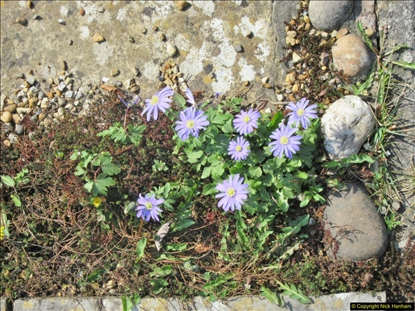 2018-04-14 A Poole Garden in Spring.  (79)079