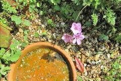 2018-04-14 A Poole Garden in Spring.  (57)057