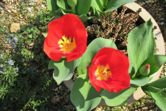 2018-04-14 A Poole Garden in Spring.  (6)006