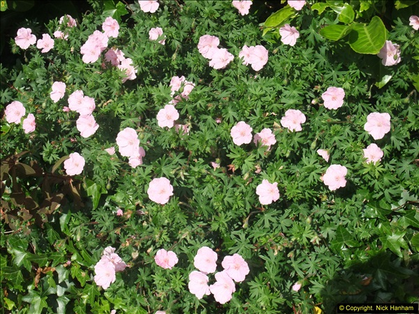 2015-06-07 A Poole Garden June 2015. (50)50