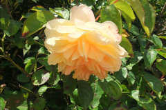 2015-06-07 A Poole Garden June 2015. (19)19