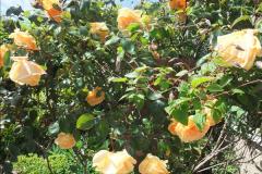 2015-06-07 A Poole Garden June 2015. (60)60