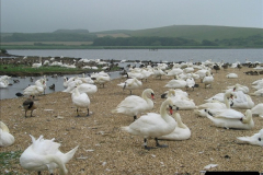 2005 July. Abbotsbury Swannery, Dorset. (12)060