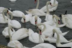 2005 July. Abbotsbury Swannery, Dorset. (4)052