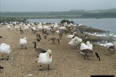 2005 July. Abbotsbury Swannery, Dorset. (5)053