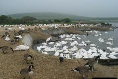 2005 July. Abbotsbury Swannery, Dorset. (7)055