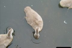 2005 July. Abbotsbury Swannery, Dorset. (9)057