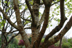 2017-04-20 Rosemoor (RHS) Great Torrington, Devon.  (148)203