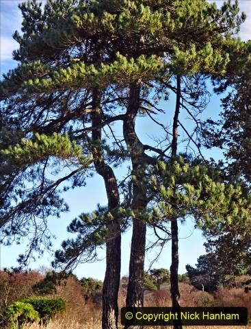 2021-01-15 Covid 19  Walk 2021 Evening Hill - Poole Quay - Trees. (25) 025