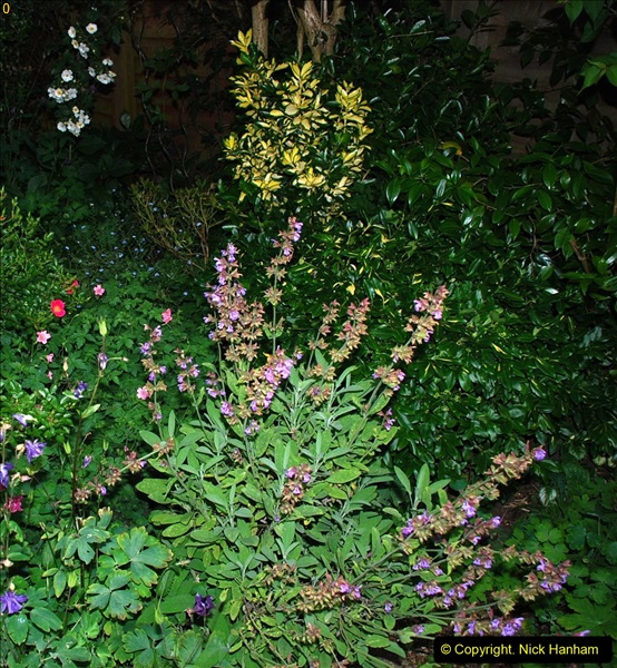 2016-06-16 A Poole Garden in early summer.  (47)47