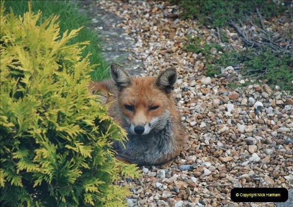 Our local fox.  (1) 01