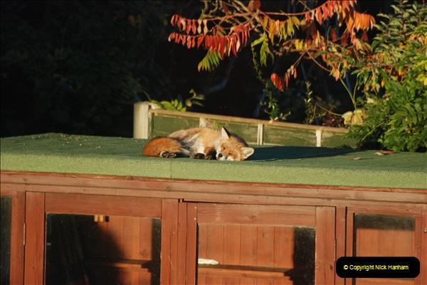Our local fox.  (10) 10