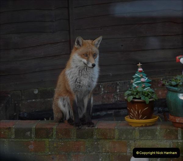 Our local fox.  (11) 11