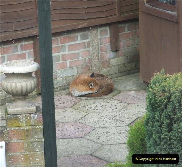 Our local fox.  (15) 15