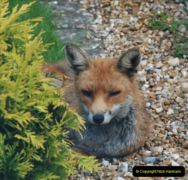 Our local fox.  (2) 02