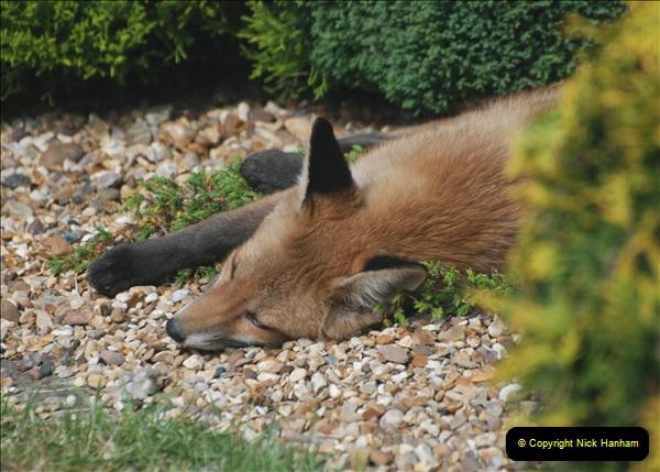 Our local fox.  (25) 25