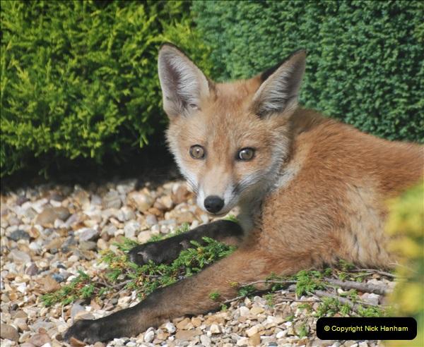 Our local fox.  (27) 27