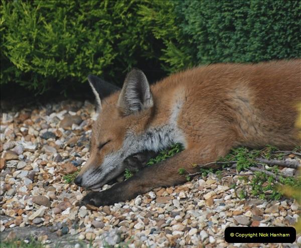 Our local fox.  (28) 28