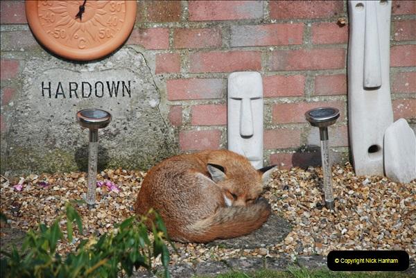 Our local fox.  (6) 06