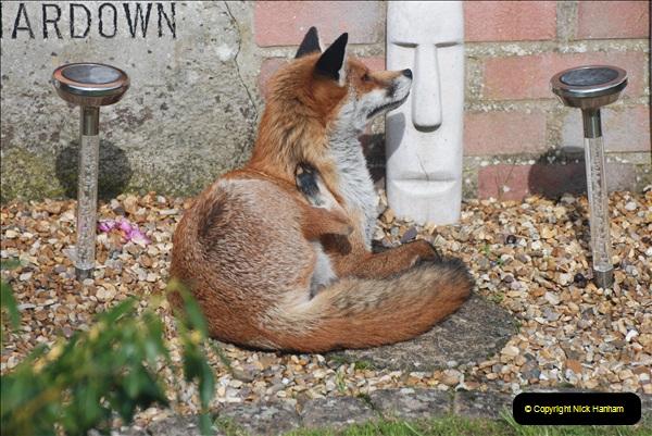 Our local fox.  (7) 07