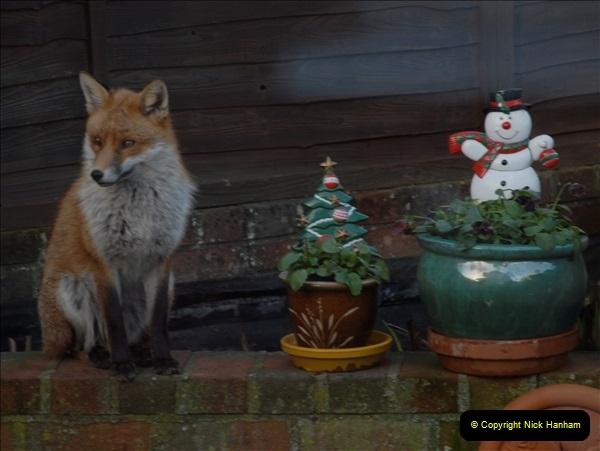 Our local fox.  (12) 12