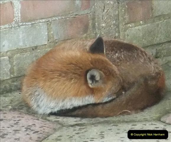 Our local fox.  (13) 13