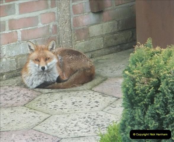 Our local fox.  (16) 16