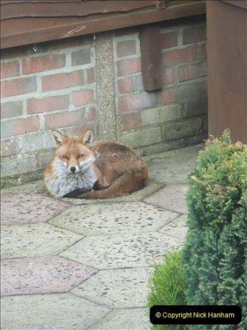Our local fox.  (17) 17