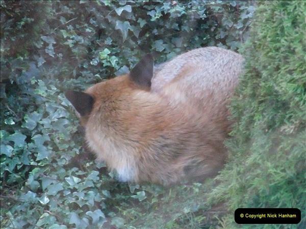 Our local fox.  (19) 19