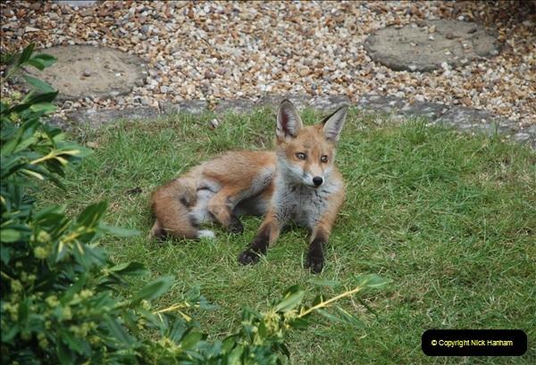 Our local fox.  (20) 20