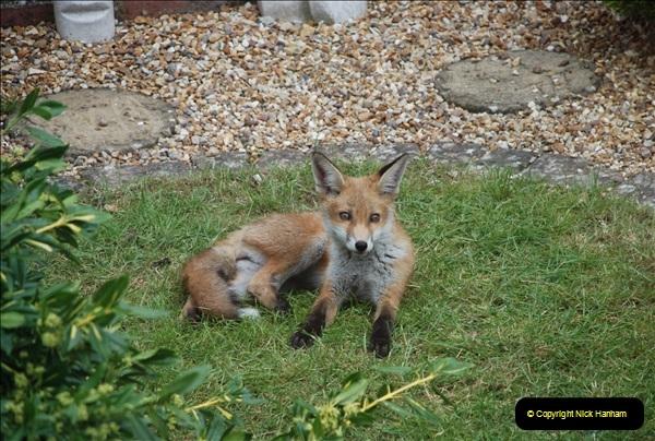 Our local fox.  (21) 21
