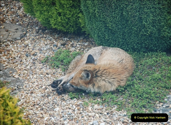 Our local fox.  (22) 22