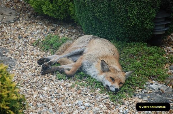Our local fox.  (23) 23