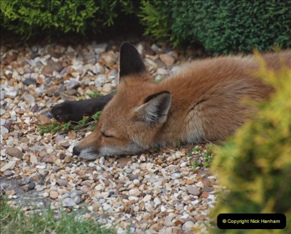 Our local fox.  (24) 24