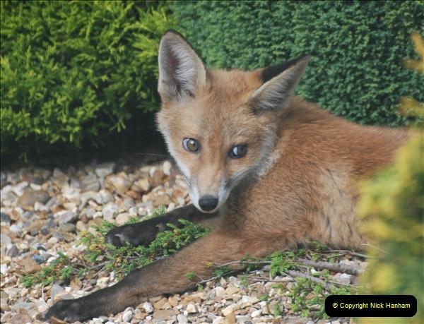 Our local fox.  (26) 26