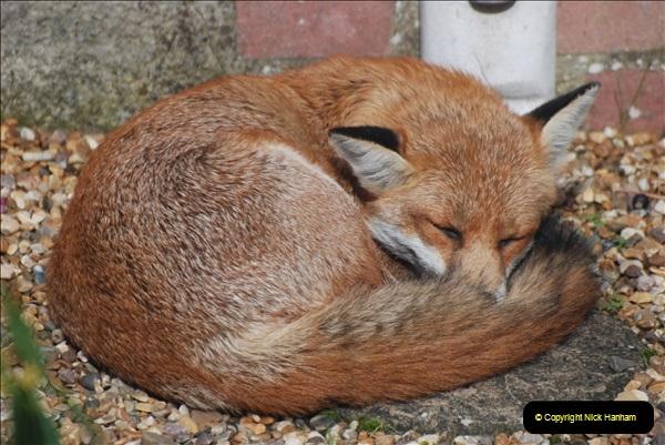 Our local fox.  (8) 08