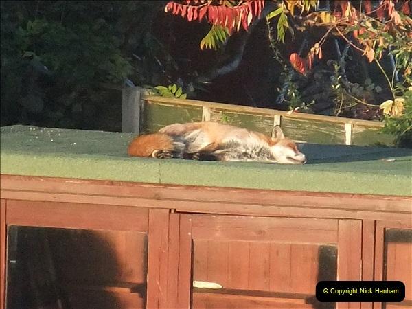 Our local fox.  (9) 09