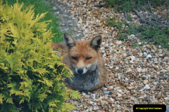 Our local fox.  (1) 01
