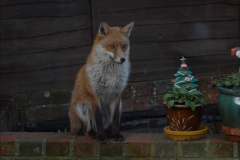 Our local fox.  (11) 11