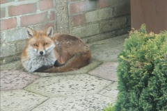 Our local fox.  (16) 16