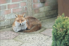 Our local fox.  (17) 17