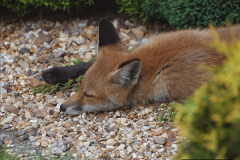 Our local fox.  (24) 24