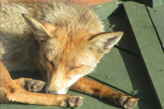 Our local fox.  (3) 03