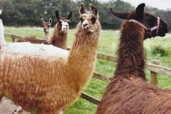 2002 September 04 Taking Llamas for a Walk. (11) 11