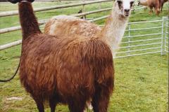 2002 September 04 Taking Llamas for a Walk. (13) 13