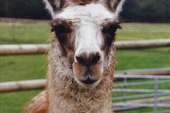 2002 September 04 Taking Llamas for a Walk. (14) 14