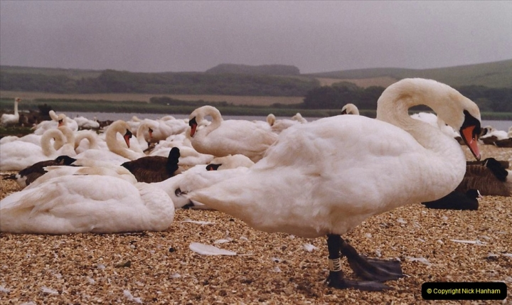 2005 July - Abbotsbury Swannery, Abbotsbury, Dorset.  (17)