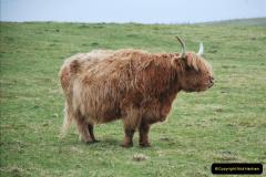 2019-03-29 Stornoway, Isle of Lewis. (38) Highland cattle. 37