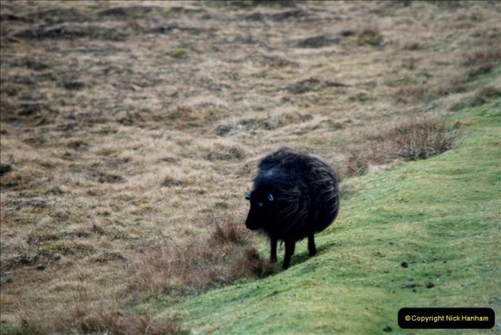 2019-03-27 Lerwick, Shetland Islands. (194) Black sheep.194